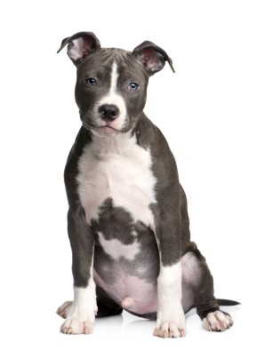 blue and white pit bull pup