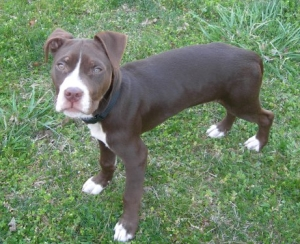 chocolate pit bull puppy