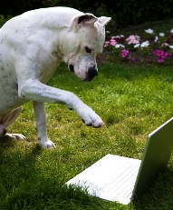 dogo argentino typing