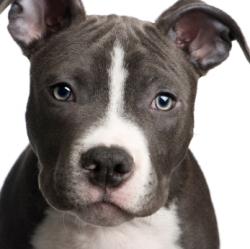 blue pitbull pup