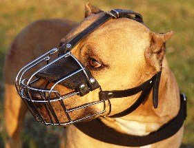 muzzled pit bull