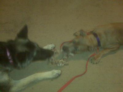 Emira and Zena (GSD) nose to nose