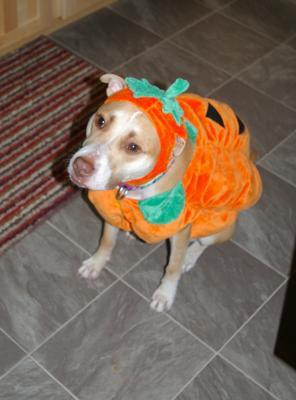 pumpkin pitbull