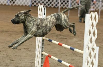 Competing in Agility!