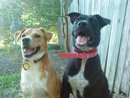Amber is the black pitt the tan dog is her older sister