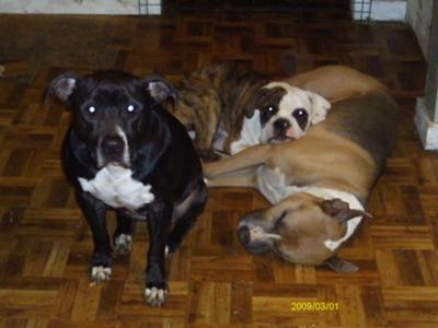 Chaus (blue pit) Shady bear (brindle bulldog) Momma Cita (Black Pit)