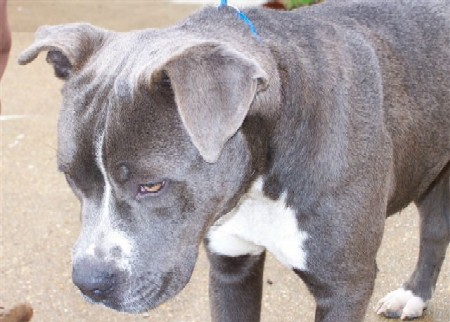blue pit bull pup